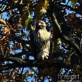 Red Tailed Hawk In Tree by Kandids By Katy