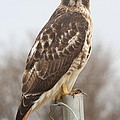 Red-tailed Hawk by Ken Keener