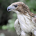 Red Tailed Hawk by Kenny Francis