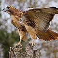 Red-tailed Hawk by Martin Belan