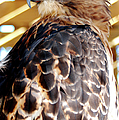 Red Tailed Hawk  by Optical Playground By MP Ray