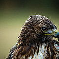 Red-tailed Hawk Portrait by Christy Cox