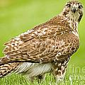 Red Tailed Hawk by Ralf Broskvar