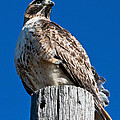 Red Tailed Hawk by Ronnie Prcin