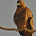 Red-tailed Hawk Rufous-morphed by Sara Edens