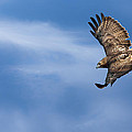 Red Tailed Hawk Soaring by Bill Wakeley