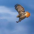 Red-tailed Hawk Soaring Square by Bill Wakeley