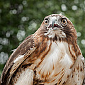Red-tailed Hawk Square by Bill Wakeley