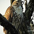 Red Tailed Morning by Tami Quigley