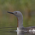 Red-throated Loon In Breeding Plumage by Michael Quinton