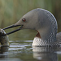 Red-throated Loon With Fish Alaska by Michael Quinton