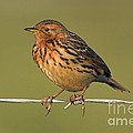 Red-throated Pipit On A Fence by Bildagentur-online