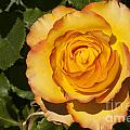 Red-tipped Yellow-orange Rose by Bob Phillips