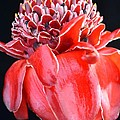 Red Torch Ginger On Black by Mary Deal