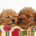 Red Toy Poodle Puppies by Mark Taylor