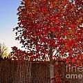 Red Tree At Sunset by Amy Lucid
