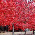 Red Tree Line by Holly Blunkall