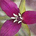 Red Trillium by Betty Denise