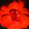 Red Tuberous Begonia by Carole-Anne Fooks