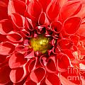 Red Tubular Flower by Optical Playground By MP Ray