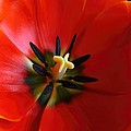 Red Tulip by Amanda Stadther