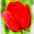 Red Tulip Aquarell by Matthias Hauser
