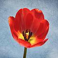 Red Tulip Glow by Kim Hojnacki