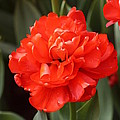 Red Tulip by Jennifer Sweeney