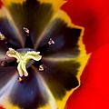 Red Tulip Macro by Adam Romanowicz