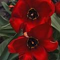 Red Tulip Pair by John Feiser