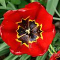 Red Tulip by Paul Koomen