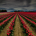 Red Tulip Rows by Puget  Exposure