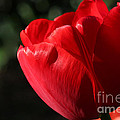 Red Tulip by Todd Blanchard