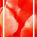 Red Tulip Up Close Trio Sample by Nicki Bennett