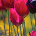 Red Tulips by Heiko Koehrer-Wagner