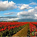 Red Tulips Of Skagit Valley by Carol Groenen