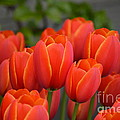 Red Tulips Outlined In Yellow by Jan Noblitt