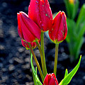 Red Tulips by Pravine Chester
