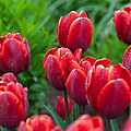 Red Tulips by Ralf Kaiser