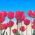 Red Tulips by Scott Cameron