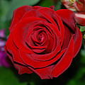 Red Velvet Rose by Connie Fox