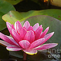 Red Water Lily 4 by Rudi Prott