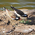 Red-wattled Lapwing by C H Apperson