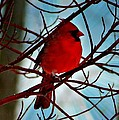 Red White And Blue Cardinal by Barbara S Nickerson