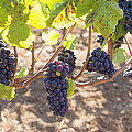 Red Wine Grapes Hanging On Grapevines by Jit Lim