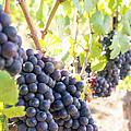 Red Wine Grapes Hanging On Grapevines Vertical by Jit Lim