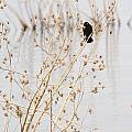 Red Wing Black Bird  by Deb Buchanan