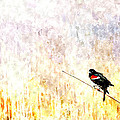 Red Wing Blackbird 2 by Rick Mosher