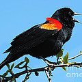 Red Wing Blackbird 2 by Vivian Christopher