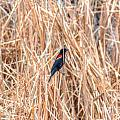 Red Wing Blackbird  by M Dale